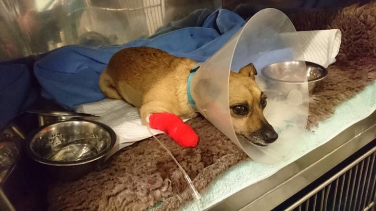Truth about Tripawds, recovery, dog, three-legged